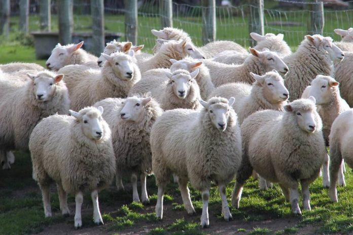 pecore capre