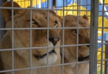 leoni gabbia circo