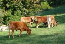 vitelli, mucche, bovini